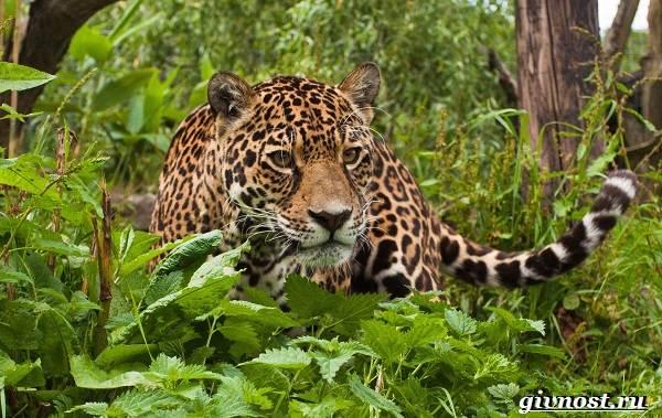 Животные-Южной-Америки-Описание-названия-и-виды-животных-Южной-Америки-37