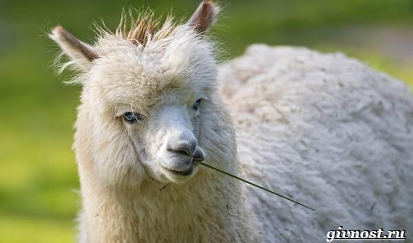 Животные-Южной-Америки-Описание-названия-и-виды-животных-Южной-Америки-39