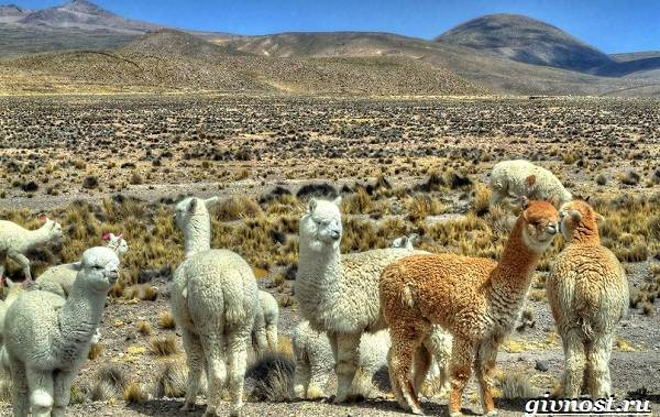 Животные-Южной-Америки-Описание-названия-и-виды-животных-Южной-Америки-40