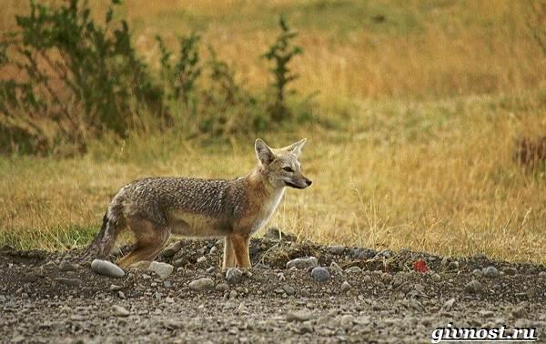 Животные-Южной-Америки-Описание-названия-и-виды-животных-Южной-Америки-42
