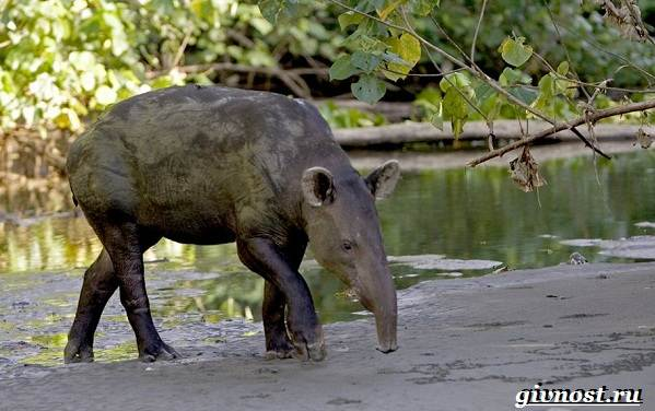 Животные-Южной-Америки-Описание-названия-и-виды-животных-Южной-Америки-52
