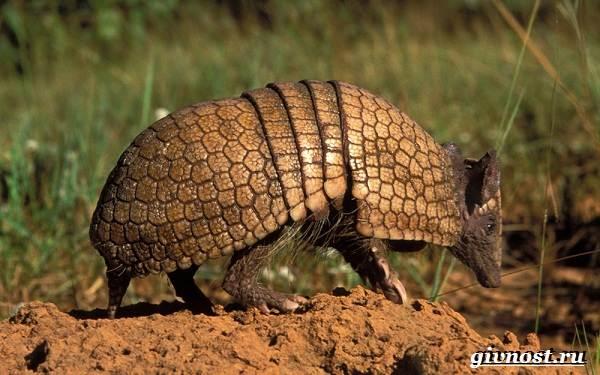 Животные-Южной-Америки-Описание-названия-и-виды-животных-Южной-Америки-55