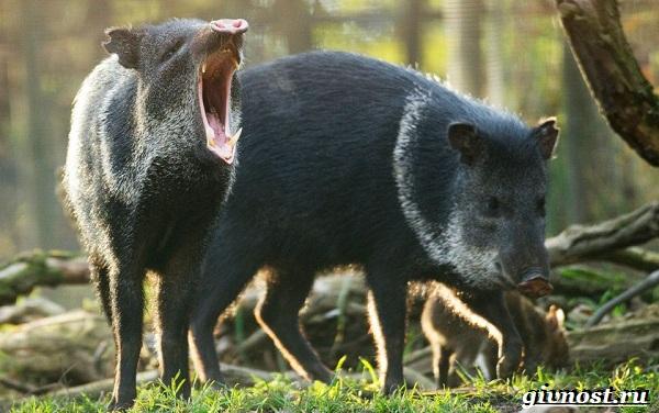 Животные-Южной-Америки-Описание-названия-и-виды-животных-Южной-Америки-63