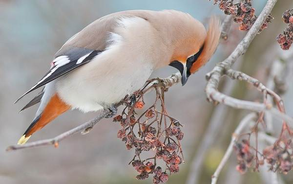 Зимующие-птицы-Названия-описания-и-особенности-зимующих-птиц-15