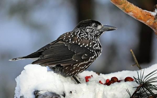Зимующие-птицы-Названия-описания-и-особенности-зимующих-птиц-17