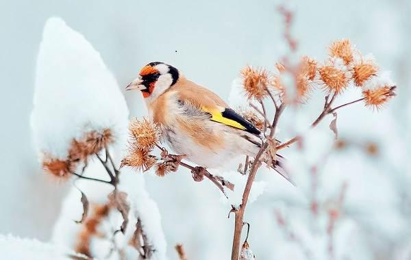 Зимующие-птицы-Названия-описания-и-особенности-зимующих-птиц-19
