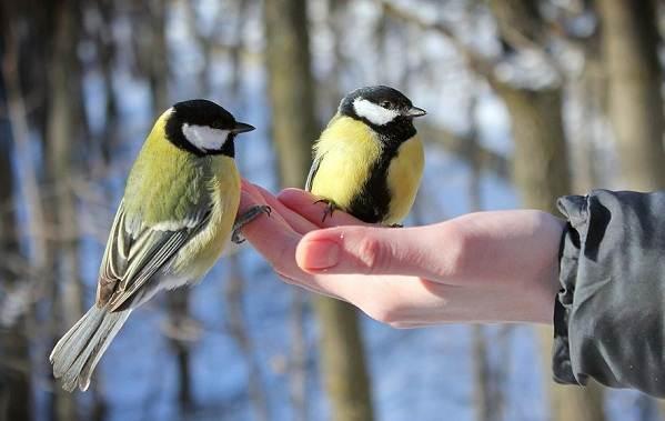Зимующие-птицы-Названия-описания-и-особенности-зимующих-птиц-23