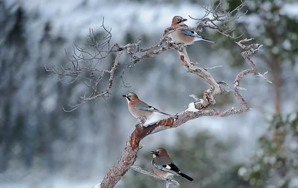 Зимующие-птицы-Названия-описания-и-особенности-зимующих-птиц-25