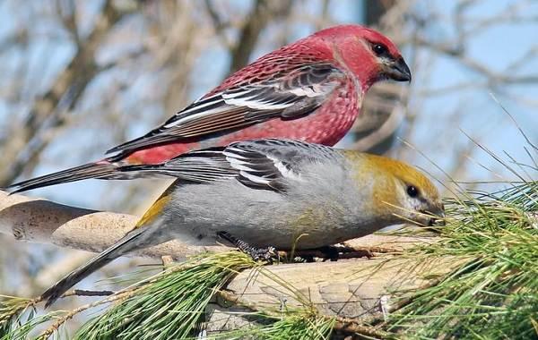 Зимующие-птицы-Названия-описания-и-особенности-зимующих-птиц-26