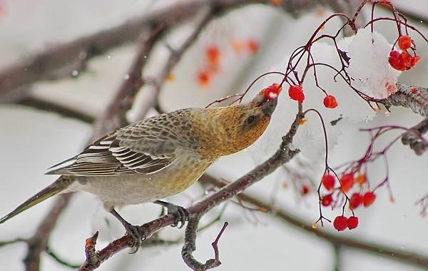 Зимующие-птицы-Названия-описания-и-особенности-зимующих-птиц-27