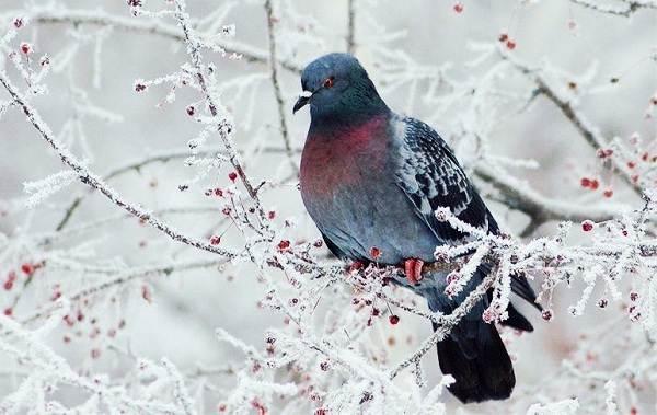 Зимующие-птицы-Названия-описания-и-особенности-зимующих-птиц-30