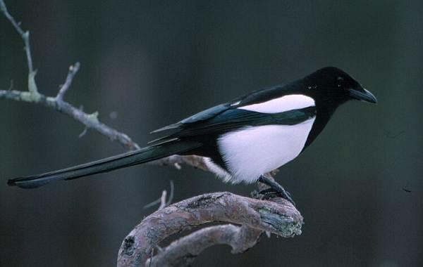 Зимующие-птицы-Названия-описания-и-особенности-зимующих-птиц-33