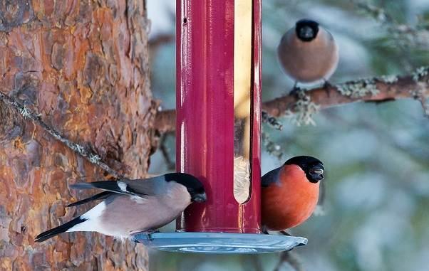 Зимующие-птицы-Названия-описания-и-особенности-зимующих-птиц-4