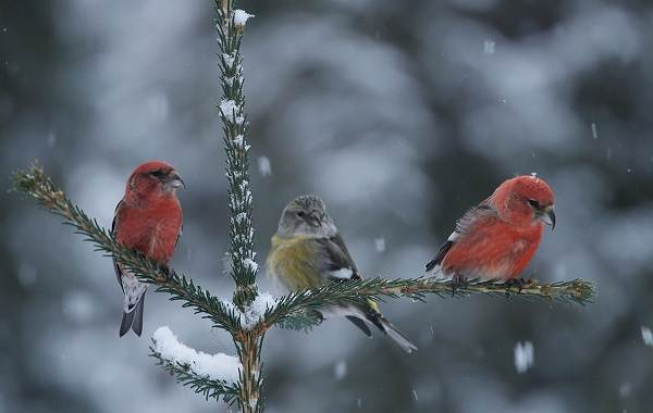 Зимующие-птицы-Названия-описания-и-особенности-зимующих-птиц-8