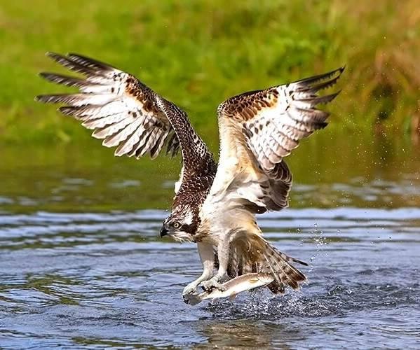 Скопа-птица-Образ-жизни-и-среда-обитания-птицы-скопы-11