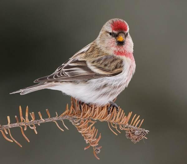Чечетка-птица-Описание-особенности-виды-и-среда-обитания-чечетки-1