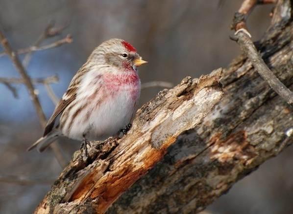 Чечетка-птица-Описание-особенности-виды-и-среда-обитания-чечетки-2