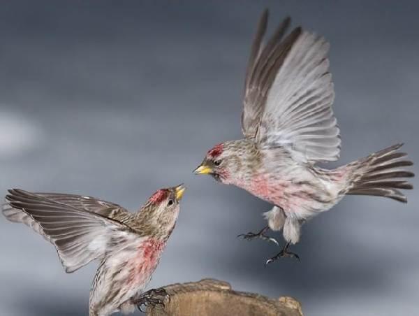 Чечетка-птица-Описание-особенности-виды-и-среда-обитания-чечетки-3