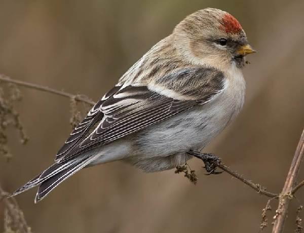 Чечетка-птица-Описание-особенности-виды-и-среда-обитания-чечетки-6