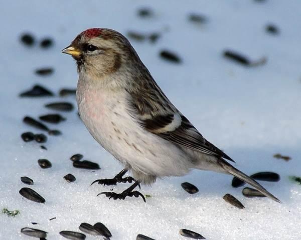 Чечетка-птица-Описание-особенности-виды-и-среда-обитания-чечетки-7