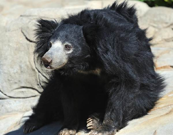 Медведь-губач-Образ-жизни-и-среда-обитания-медведя-губача-2