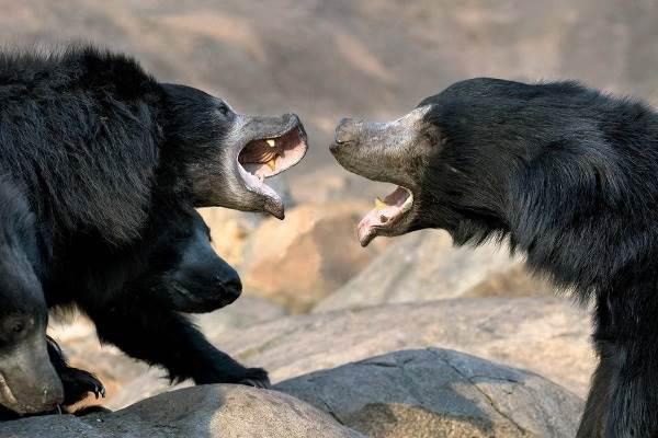 Медведь-губач-Образ-жизни-и-среда-обитания-медведя-губача-3