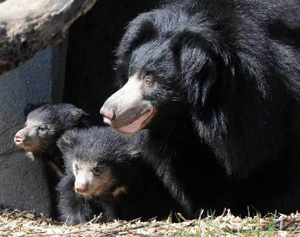 Медведь-губач-Образ-жизни-и-среда-обитания-медведя-губача-4