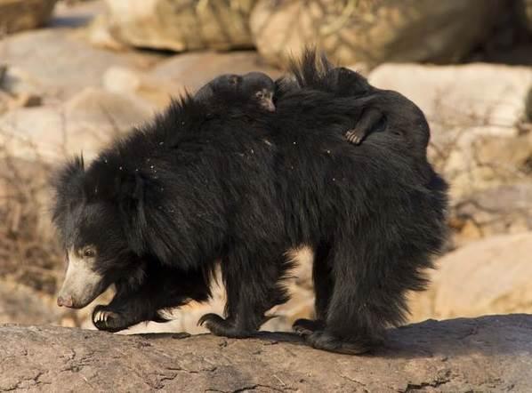 Медведь-губач-Образ-жизни-и-среда-обитания-медведя-губача-5