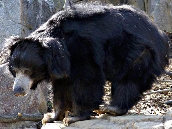 Медведь-губач-Образ-жизни-и-среда-обитания-медведя-губача-6
