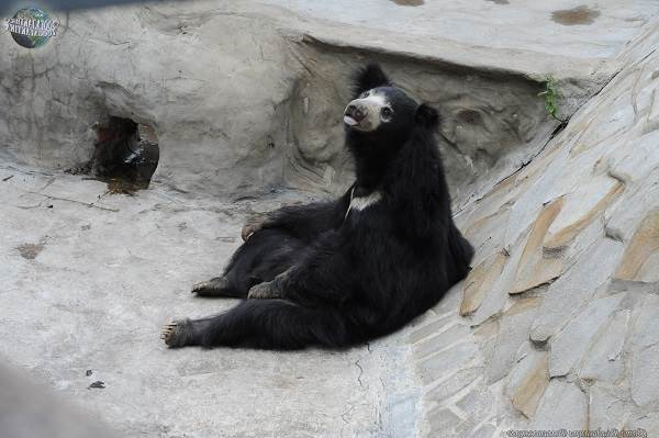 Медведь-губач-Образ-жизни-и-среда-обитания-медведя-губача-7
