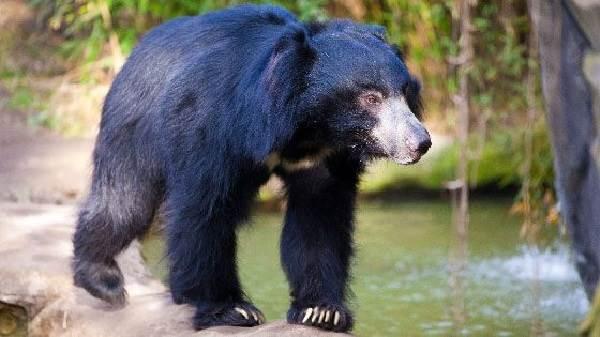 Медведь-губач-Образ-жизни-и-среда-обитания-медведя-губача-8