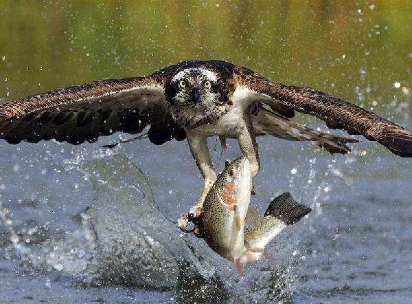 Скопа-птица-Образ-жизни-и-среда-обитания-птицы-скопы-1