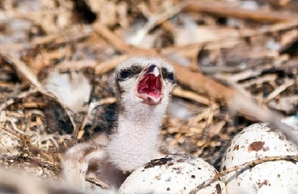 Скопа-птица-Образ-жизни-и-среда-обитания-птицы-скопы-13