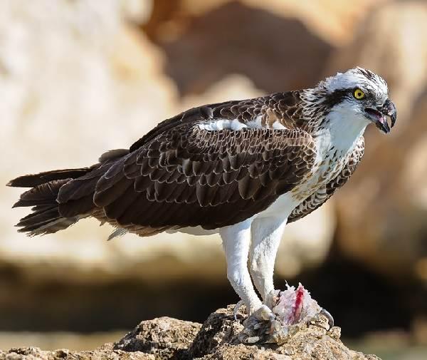 Скопа-птица-Образ-жизни-и-среда-обитания-птицы-скопы-2