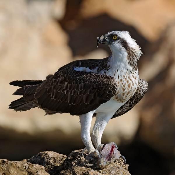 Скопа-птица-Образ-жизни-и-среда-обитания-птицы-скопы-4