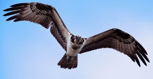 Скопа-птица-Образ-жизни-и-среда-обитания-птицы-скопы-5