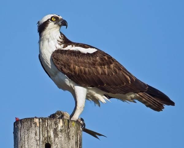 Скопа-птица-Образ-жизни-и-среда-обитания-птицы-скопы-8
