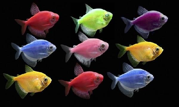 Тернеция-карамелька-рыбка-Описание-особенности-виды-и-уход-за-тернецией-1