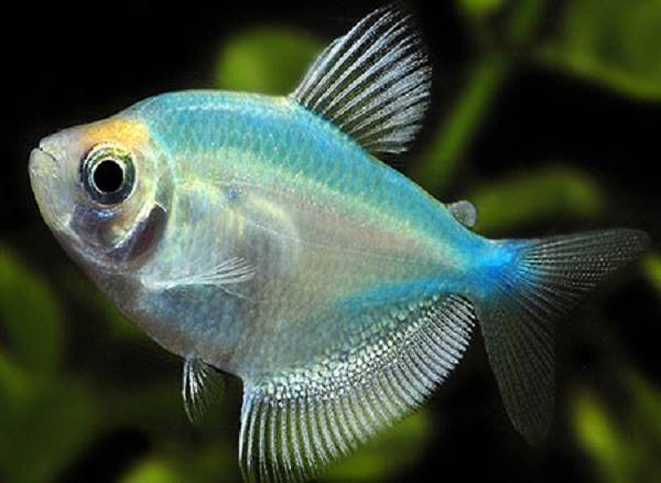 Тернеция-карамелька-рыбка-Описание-особенности-виды-и-уход-за-тернецией-10