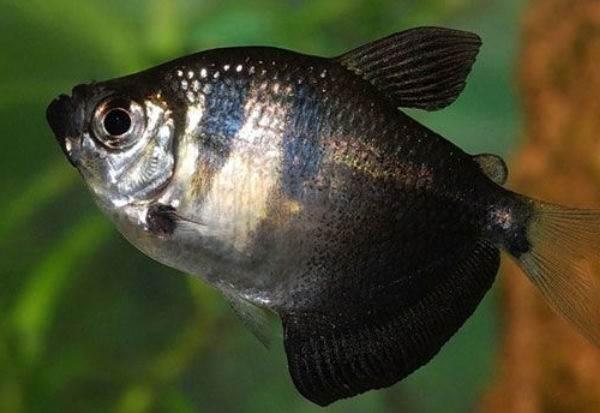 Тернеция-карамелька-рыбка-Описание-особенности-виды-и-уход-за-тернецией-12