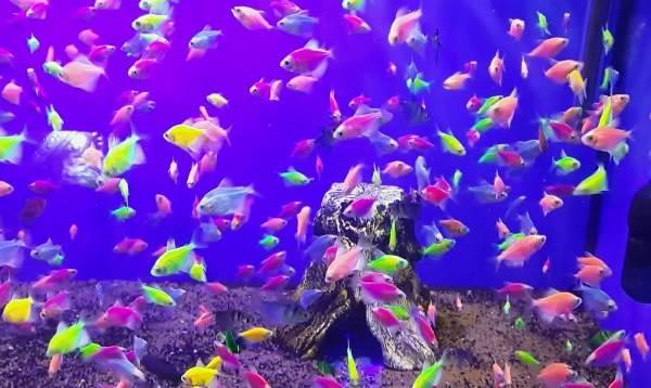 Тернеция-карамелька-рыбка-Описание-особенности-виды-и-уход-за-тернецией-13