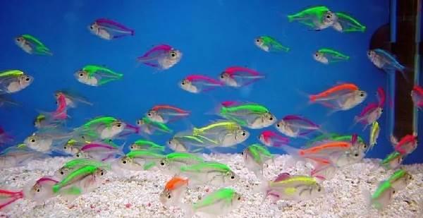Тернеция-карамелька-рыбка-Описание-особенности-виды-и-уход-за-тернецией-2