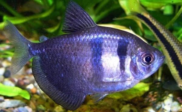 Тернеция-карамелька-рыбка-Описание-особенности-виды-и-уход-за-тернецией-3