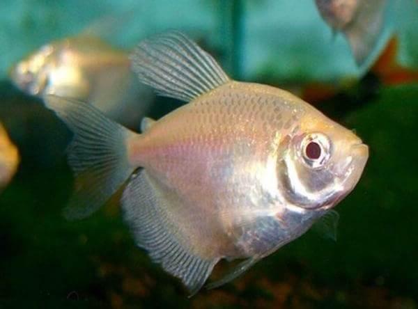 Тернеция-карамелька-рыбка-Описание-особенности-виды-и-уход-за-тернецией-4
