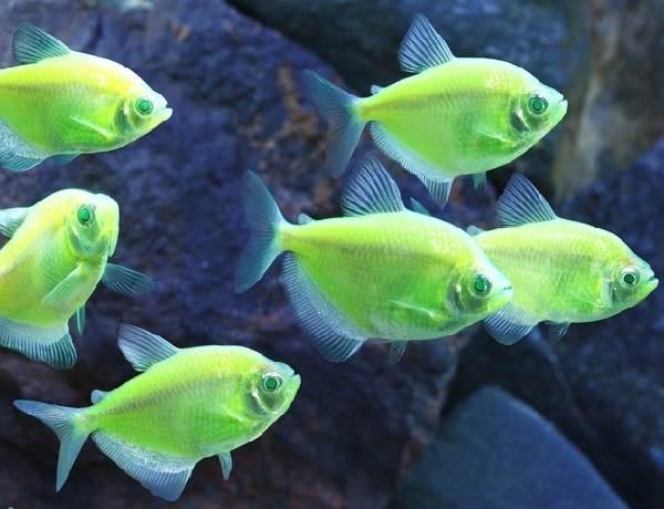 Тернеция-карамелька-рыбка-Описание-особенности-виды-и-уход-за-тернецией-5