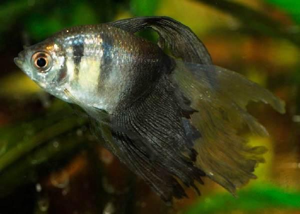Тернеция-карамелька-рыбка-Описание-особенности-виды-и-уход-за-тернецией-8