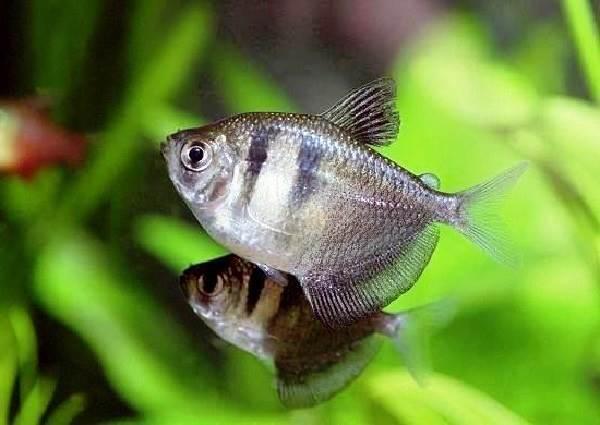 Тернеция-карамелька-рыбка-Описание-особенности-виды-и-уход-за-тернецией-9