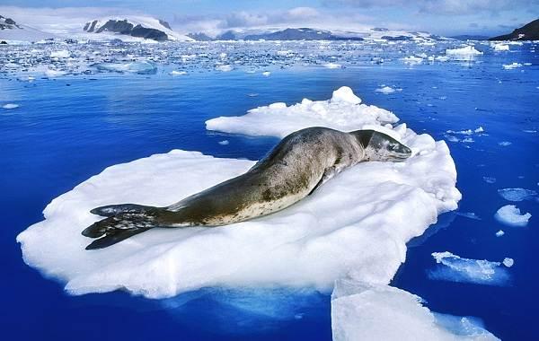Животные-Антарктиды-Описание-и-особенности-животных-Антарктиды-23