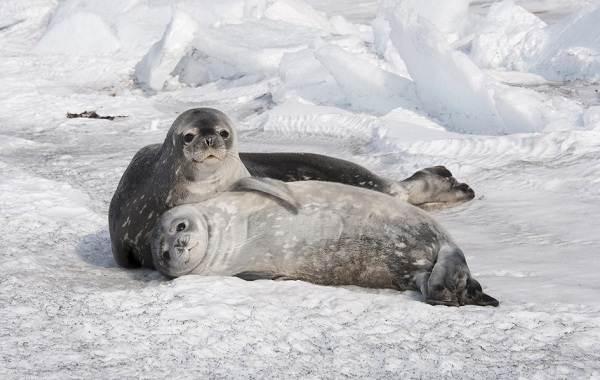 Животные-Антарктиды-Описание-и-особенности-животных-Антарктиды-25