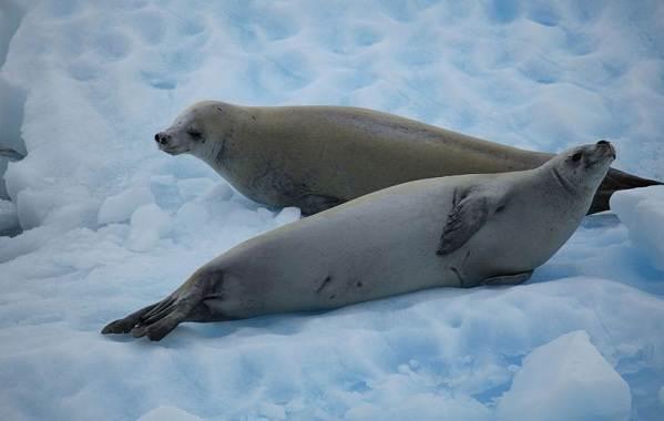 Животные-Антарктиды-Описание-и-особенности-животных-Антарктиды-26